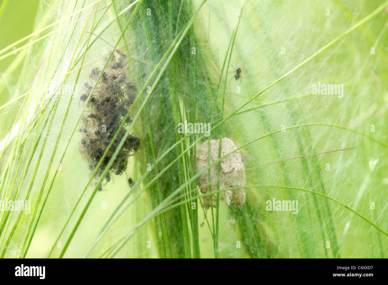 A nest of newly hatched spiderlings and an abandoned egg case protected by a tangled web in a wheat field. - Stock Image
