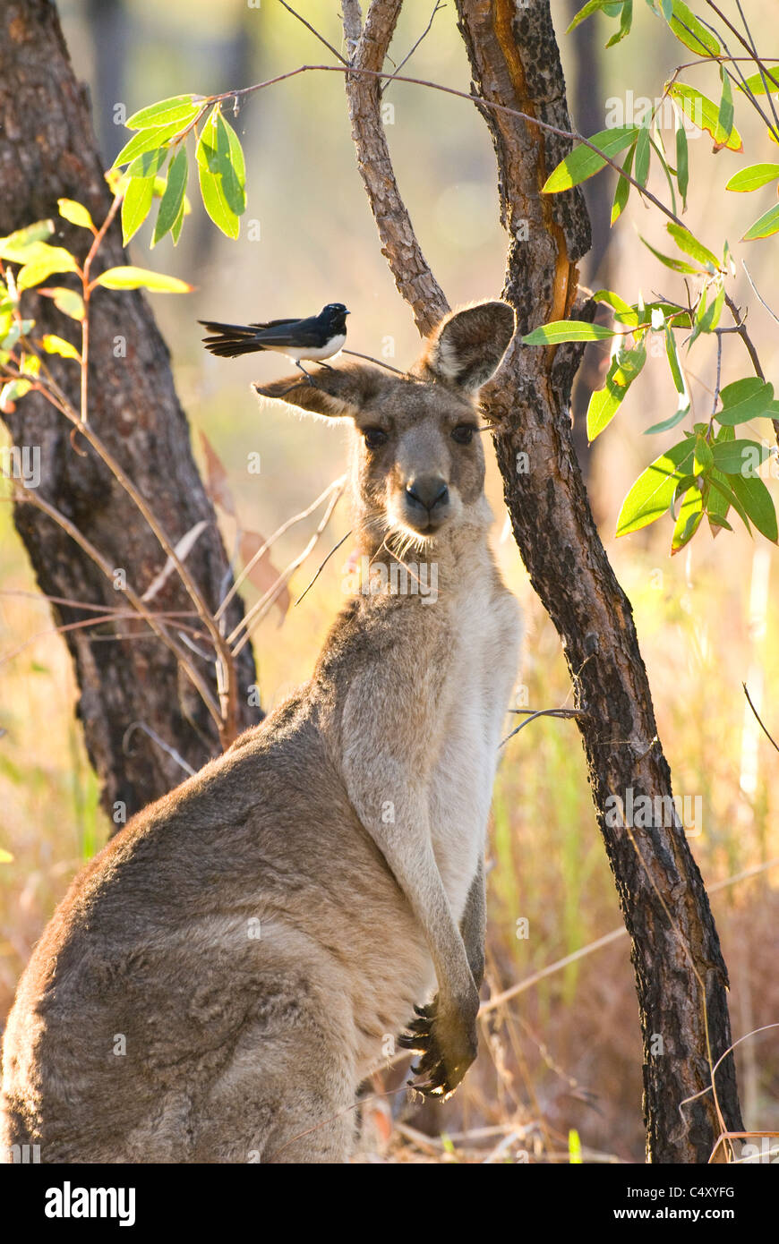 Willy wagtail perched on ear of eastern gray kangaroo (Macropus giganteus) in Undara National Park in Queensland - Stock Image