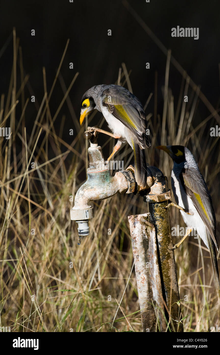 Noisy miner birds (Melorina melanocephala) appearing to turn on water spigot in Undara National Park in Queensland - Stock Image