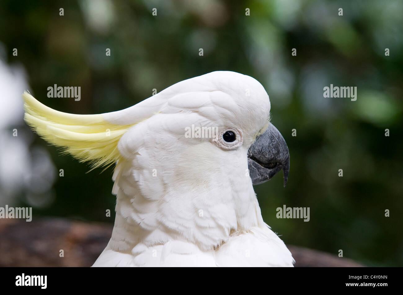 Sulfur-crested cockatoo (Cacatua galerita) at the Cairns Tropical Zoo in Queensland Australia - Stock Image