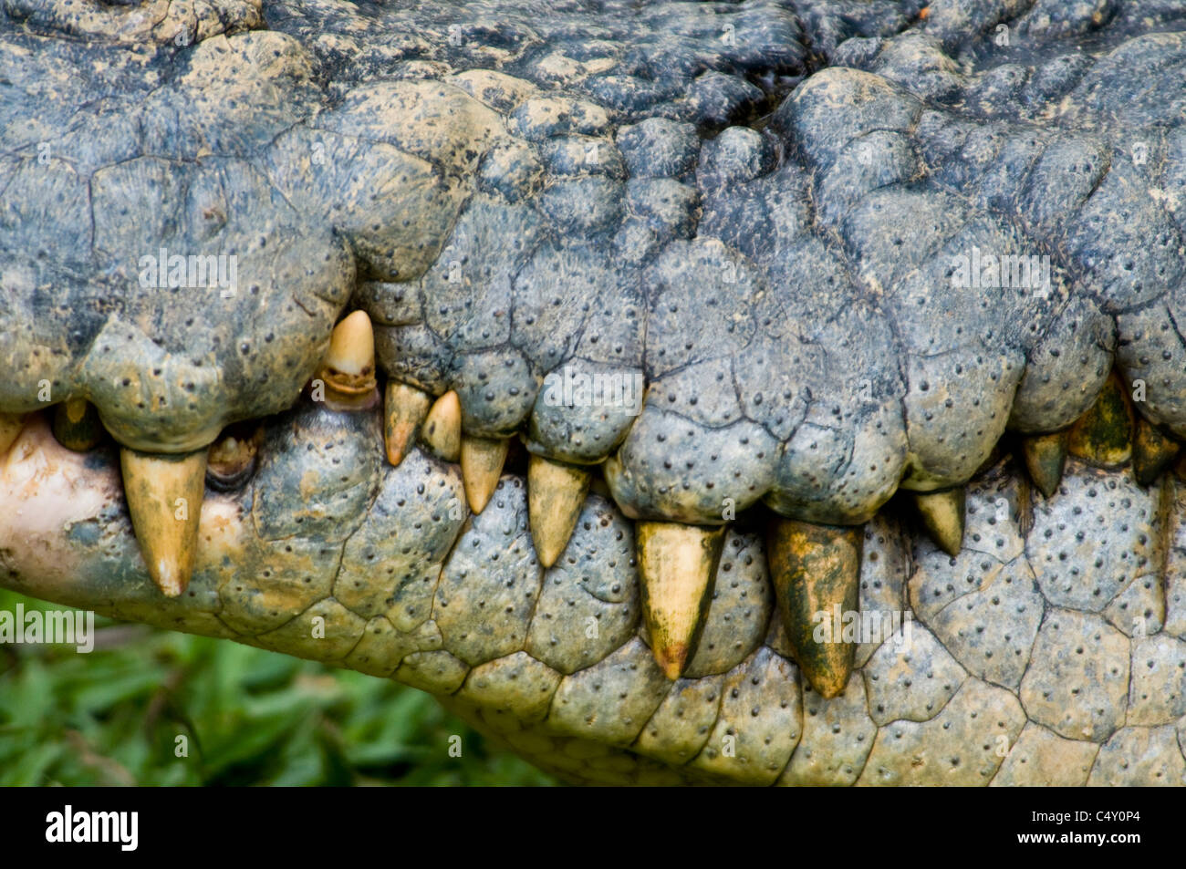 Close-up of snout of saltwater (estuarine) crocodile (Crocodylus porosus) at the Cairns Tropical Zoo in Queensland - Stock Image