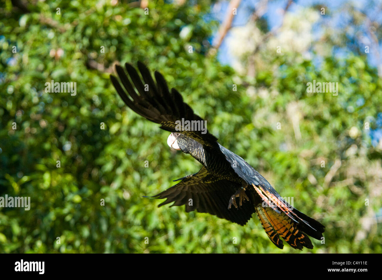 Red-tailed black cockatoo at the Cairns Tropical Zoo in Queensland Australia - Stock Image