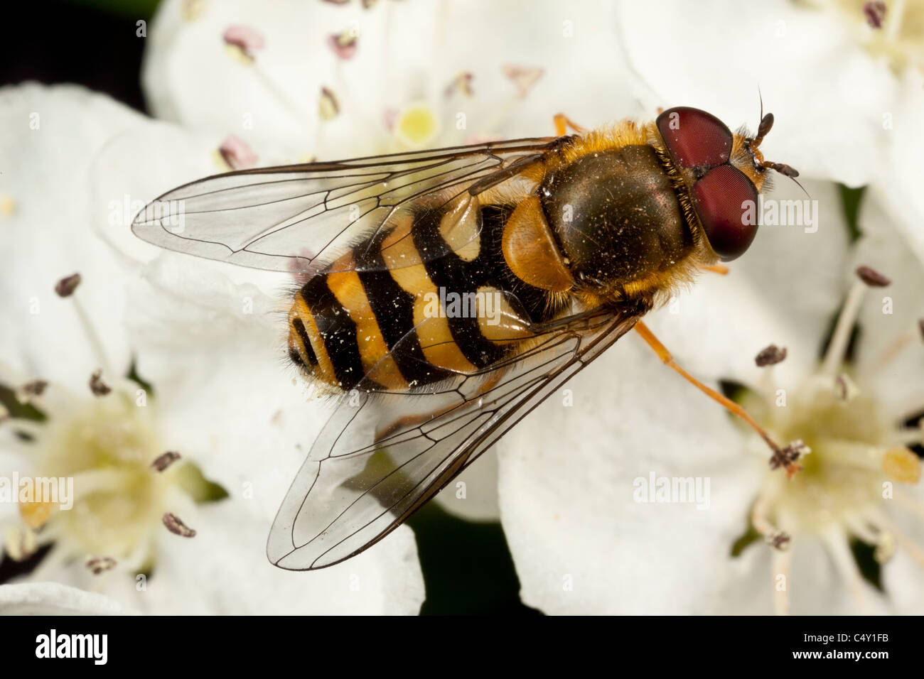 Hoverfly, Syrphus ribesii, Derbyshire, a wasp mimic - Stock Image
