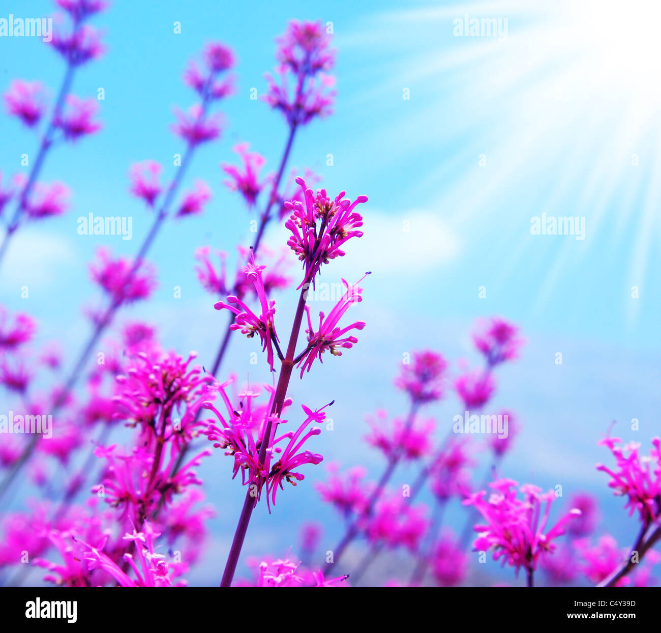 Pink spring flower field abstract background with blue sky and pink spring flower field abstract background with blue sky and sunlight mightylinksfo