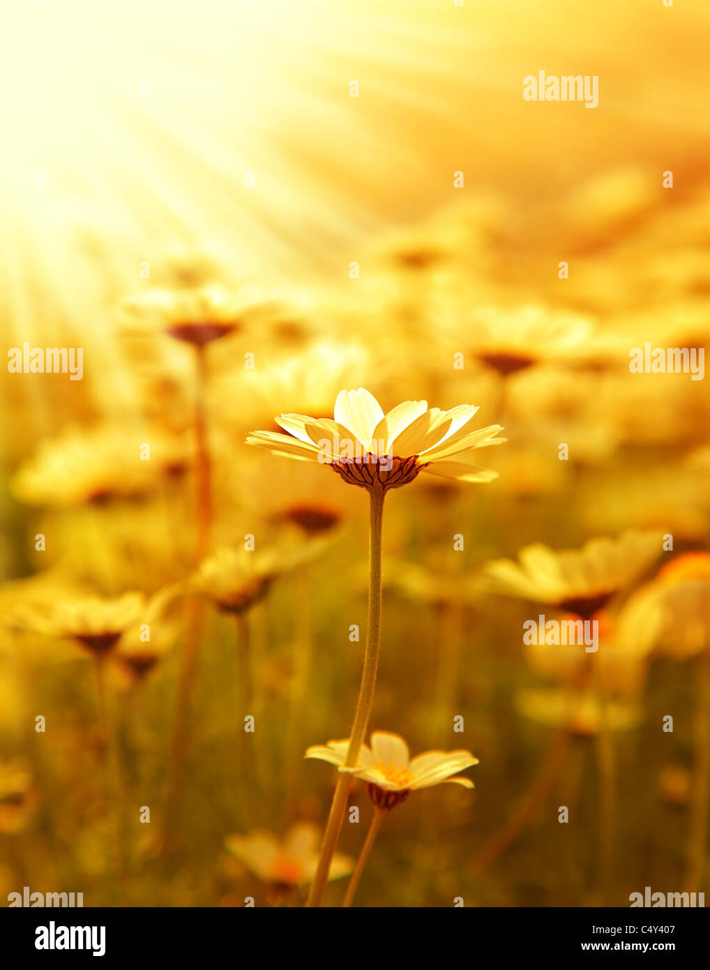 Fresh daisy flower field background at sunny spring day, sunset macro outdoor scene - Stock Image