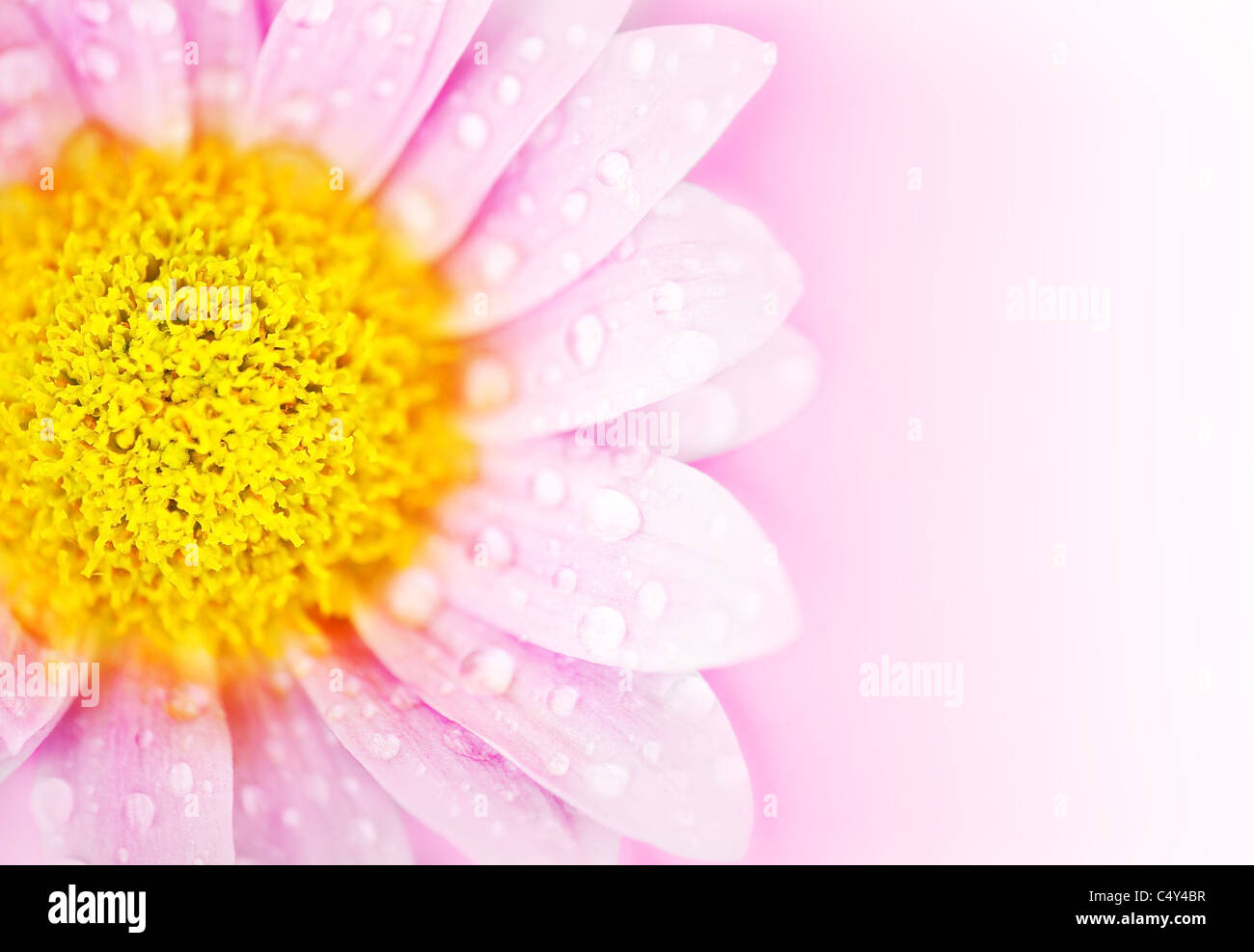 Pink floral abstract background with wet daisy flower border stock pink floral abstract background with wet daisy flower border izmirmasajfo
