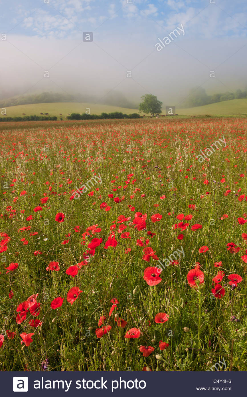 poppy field Clayton Sussex summer flower south downs Papaver rhoeas wildflower annual red natural landscape morning - Stock Image