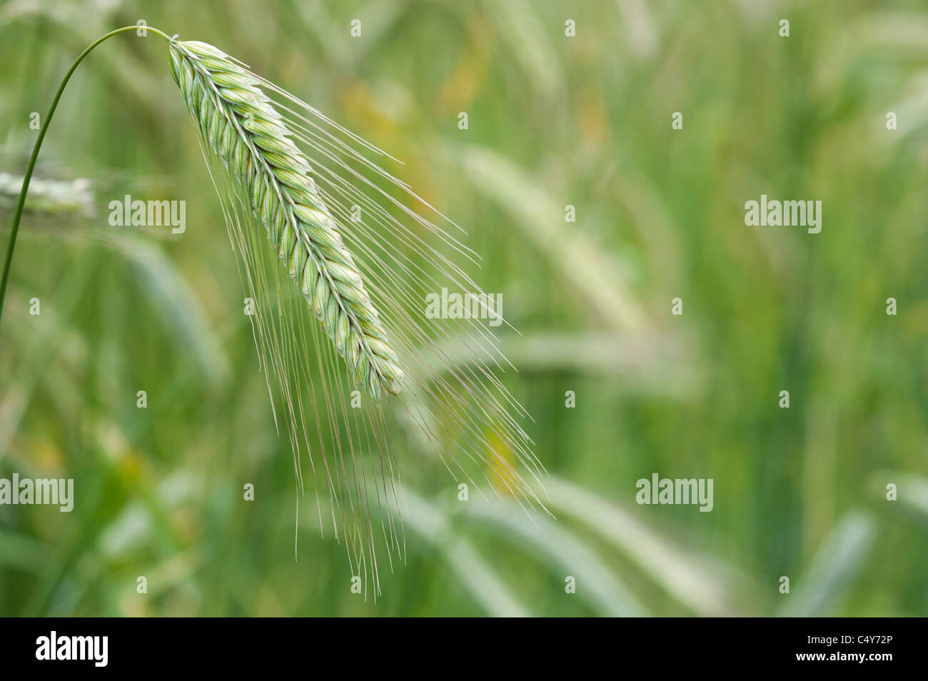Secale cereale. Rye grass seed head - Stock Image