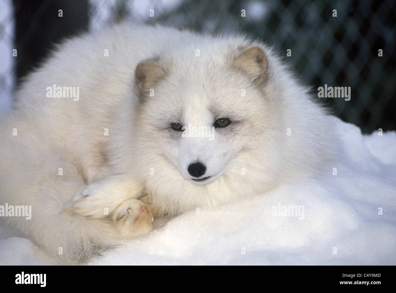 The Arctic Fox Changes Color With The Seasons And Its Fur Turns
