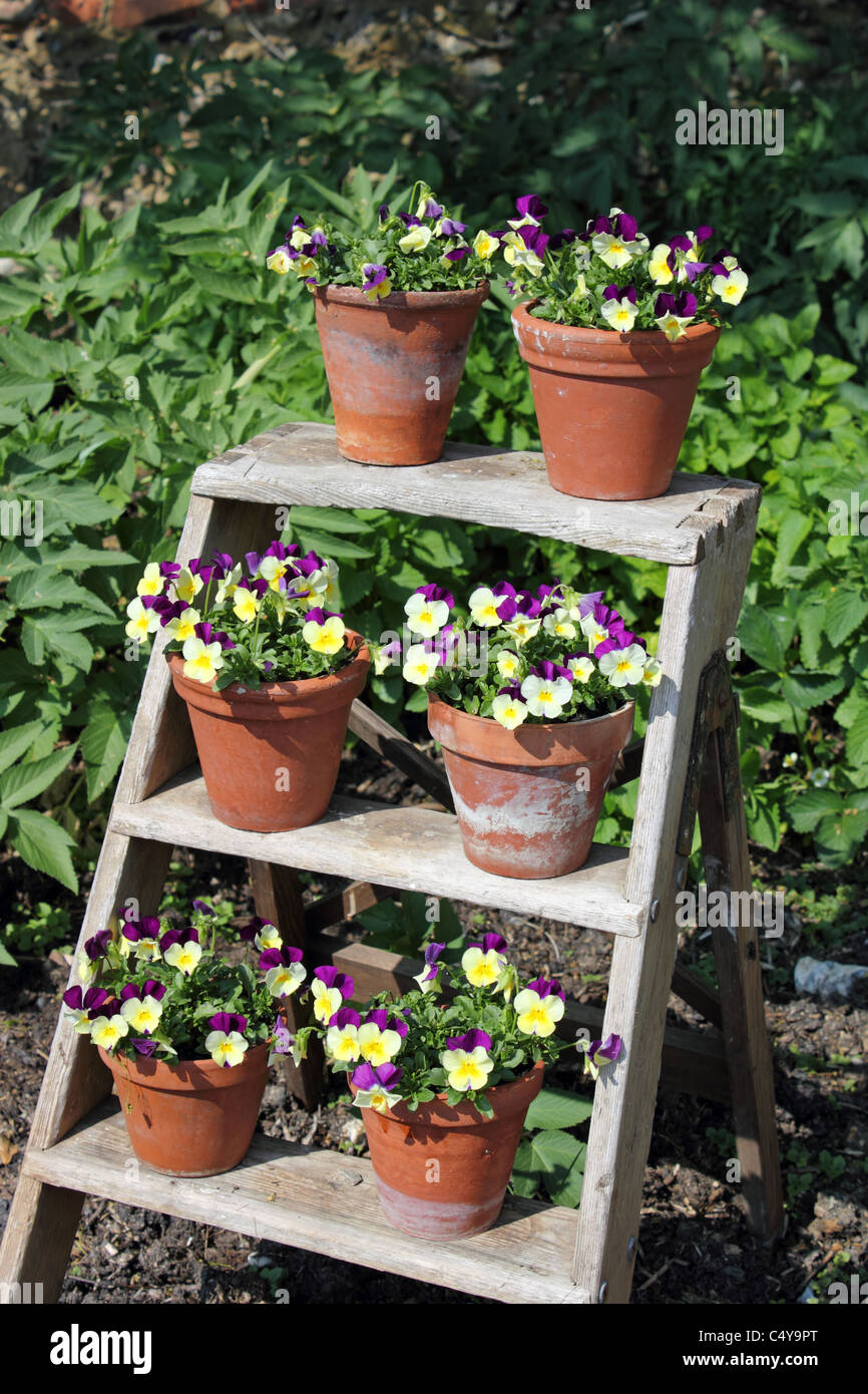 A display of violas in terracotta pots arranged on step ladders, UK - Stock Image