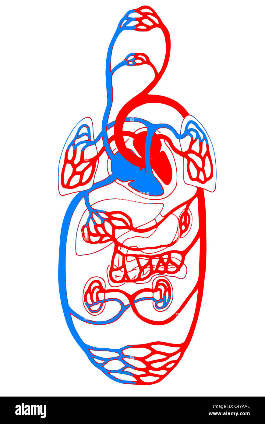 Cardiovascular System/ overview blue and red - Stock Image
