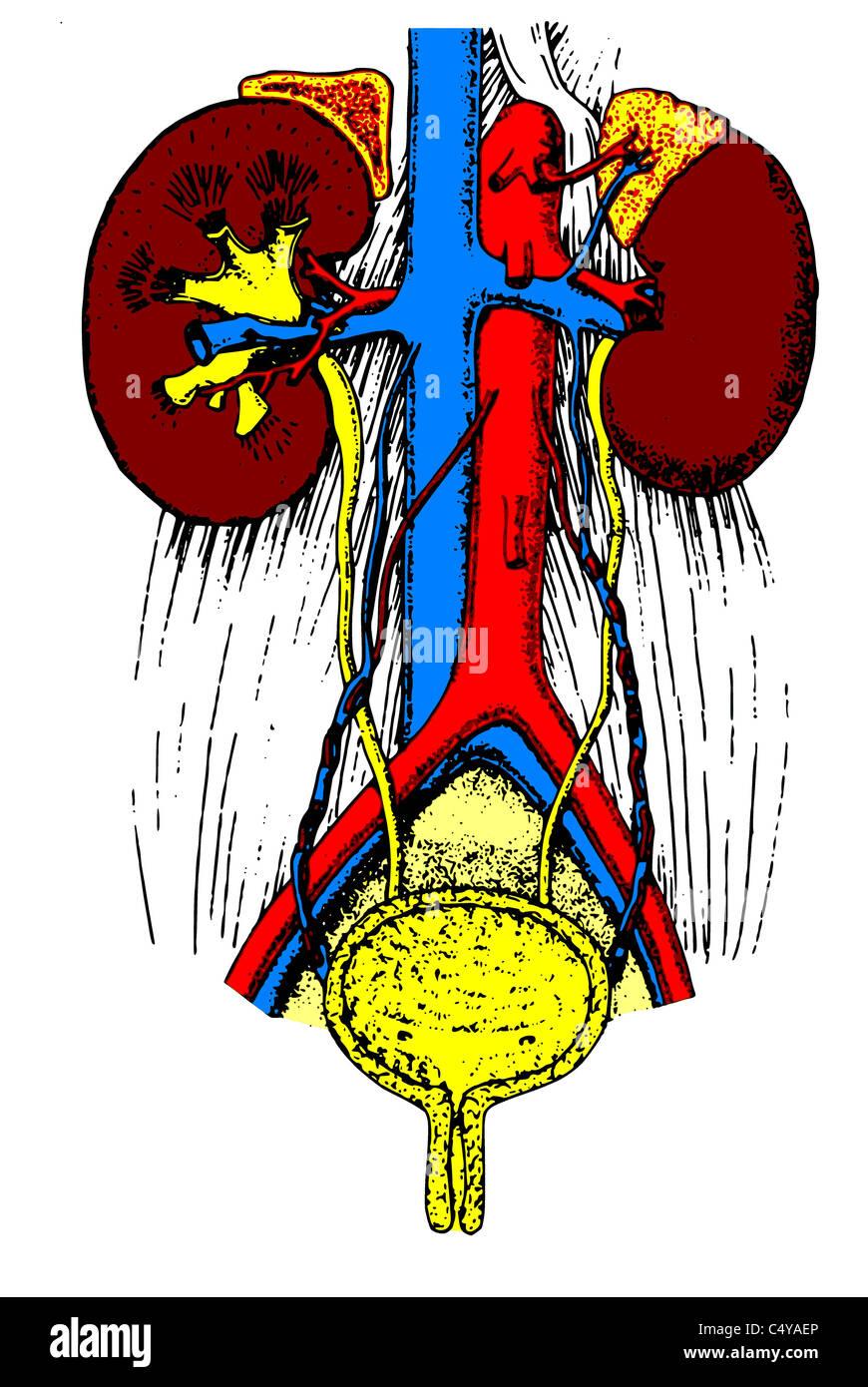 Left Adrenal Vein Stock Photos & Left Adrenal Vein Stock Images - Alamy