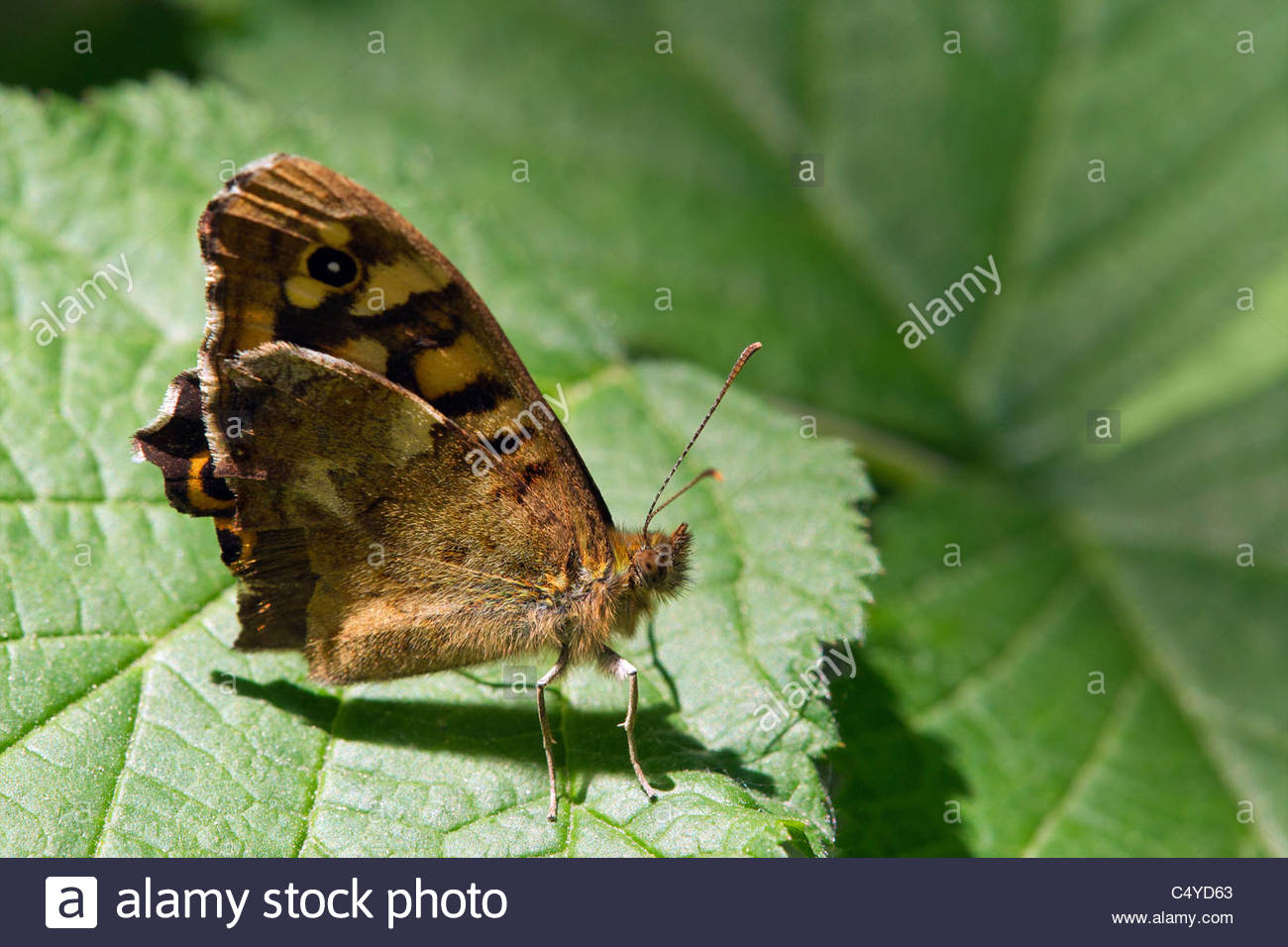 Pararge aegeria tircis known as the Speckled Wood - Stock Image