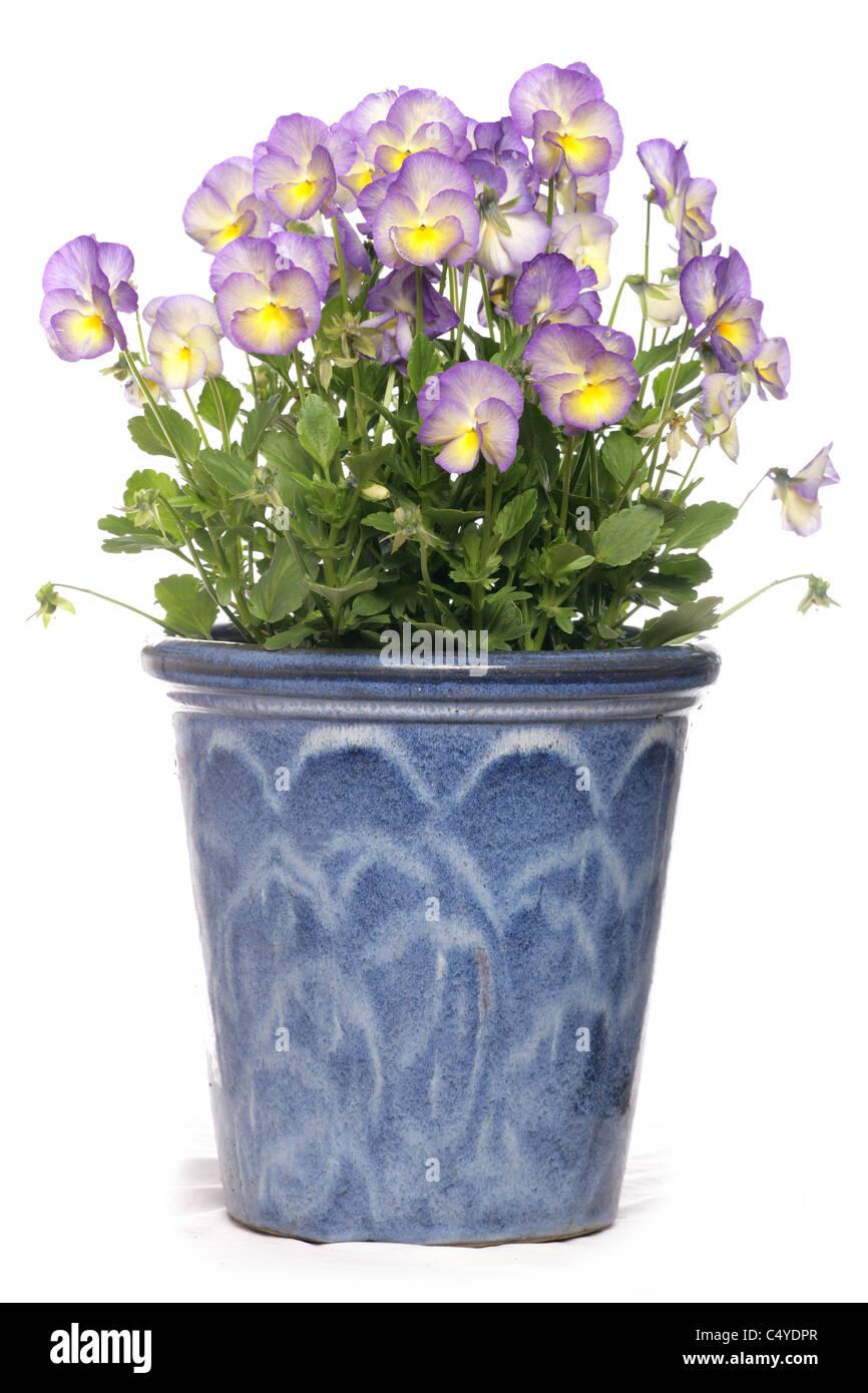 purple pansies in a pot studio cutout - Stock Image