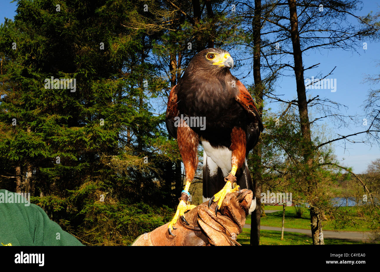 Monty 'the HarrisHawk tethered to the  keeper's glove at the  Birds of Prey Center   Kielderwater and Forest - Stock Image