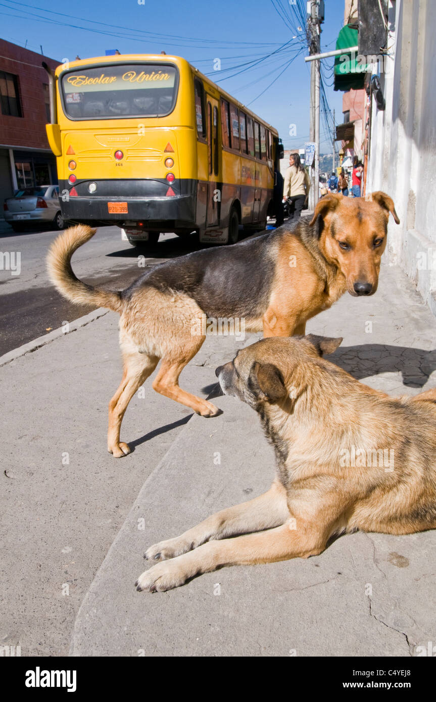 Dogs on sidewalk in town of Otavalo in northern Ecuador South America Stock Photo