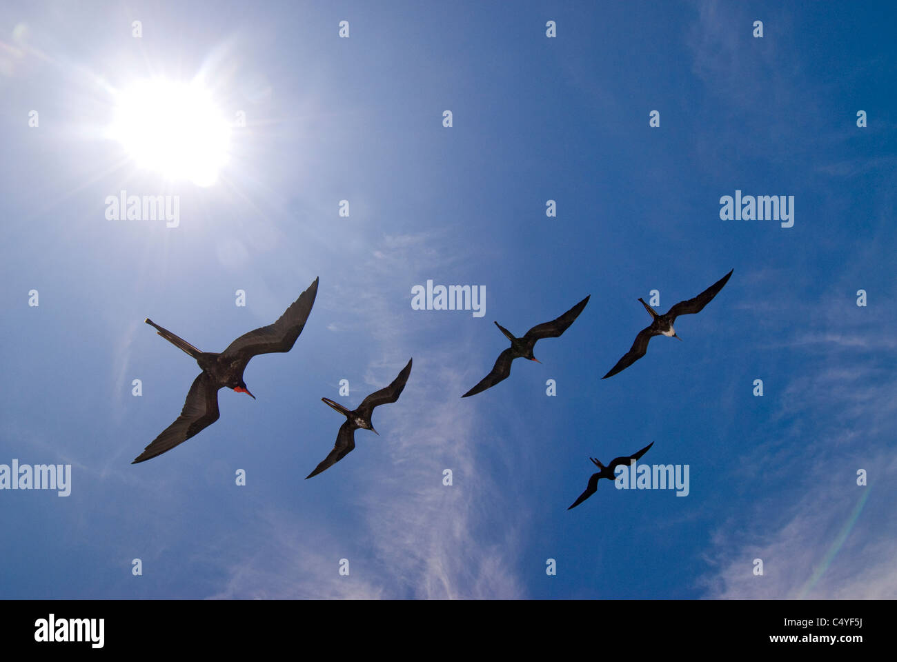 Great frigatebirds soaring over Galapagos Islands Ecuador - Stock Image