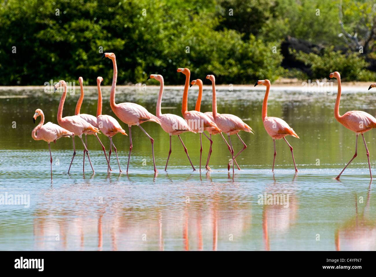 Greater flamingos in lagoon on Floreana Island in the Galapagos Islands Ecuador - Stock Image