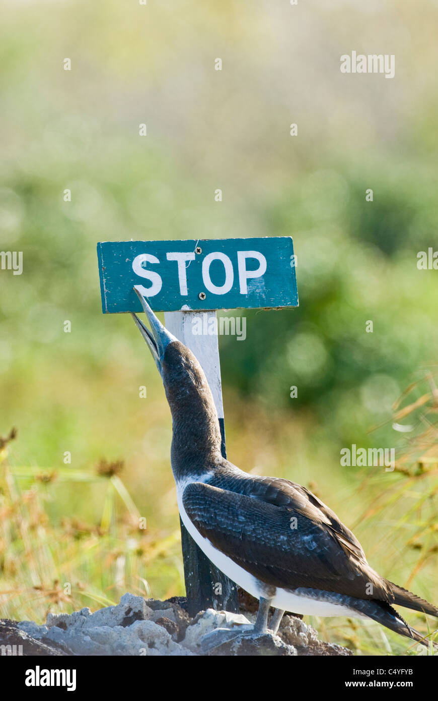 Blue-footed booby and end-of-trail stop sign on Genovesa Island in the Galapagos Islands Ecuador - Stock Image
