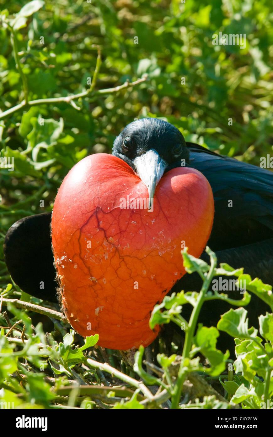 Male great frigatebird (Fregata minor) with inflated gular sac on Genovesa Island in the Galapagos Islands Ecuador - Stock Image