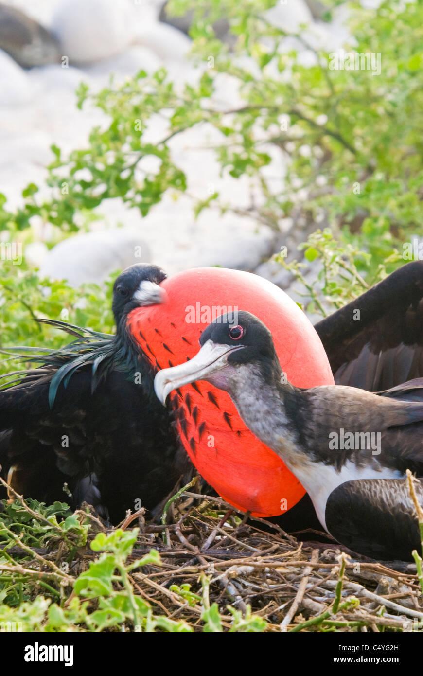 Great frigatebird pair on Genovesa Island in the Galapagos Islands Ecuador - Stock Image
