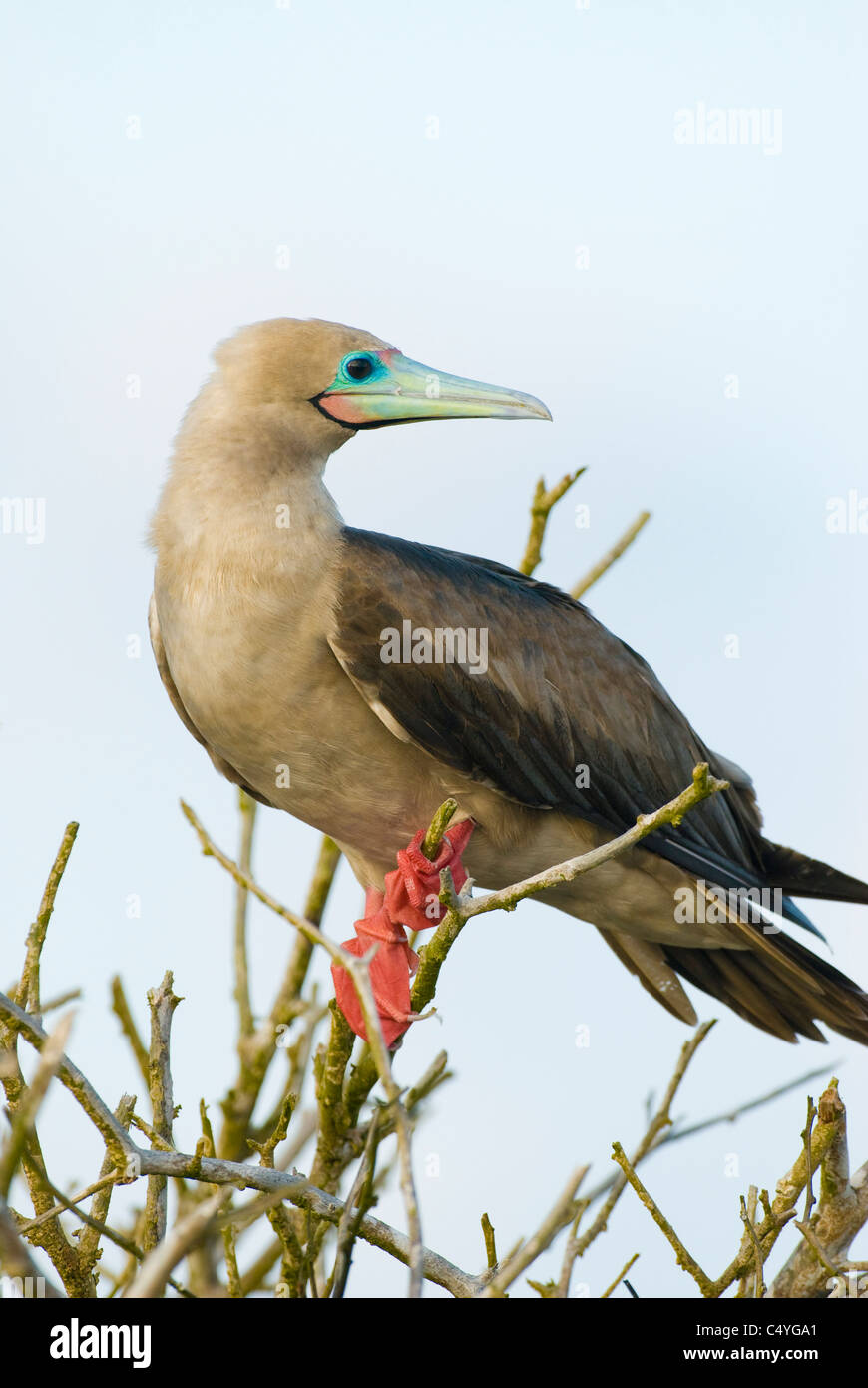 Red-footed booby in tree on Genovesa Island in the Galapagos Islands Ecuador - Stock Image