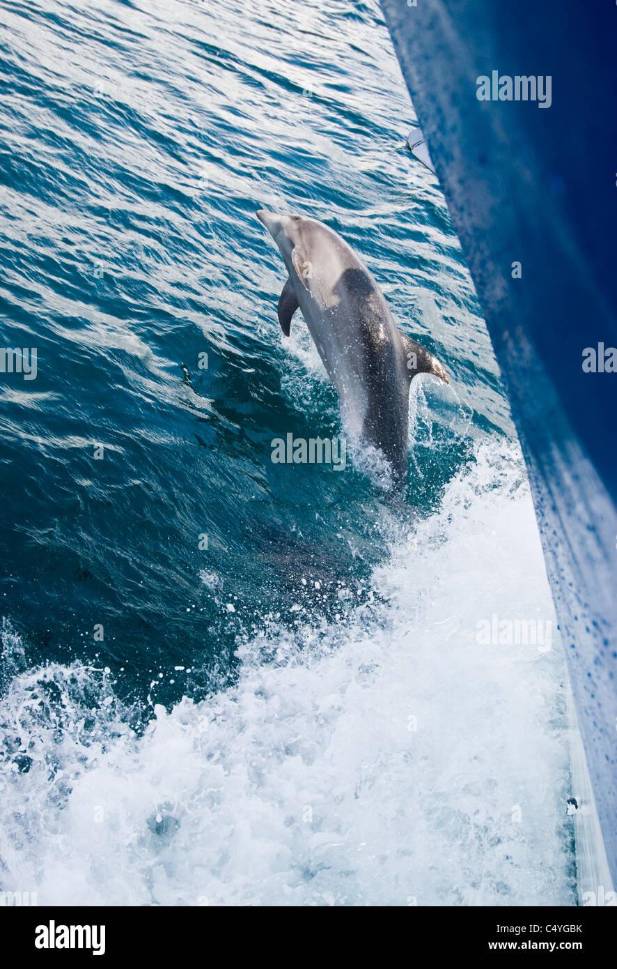 Bottlenose dolphin riding bow wave in the Galapagos Islands Ecuador - Stock Image