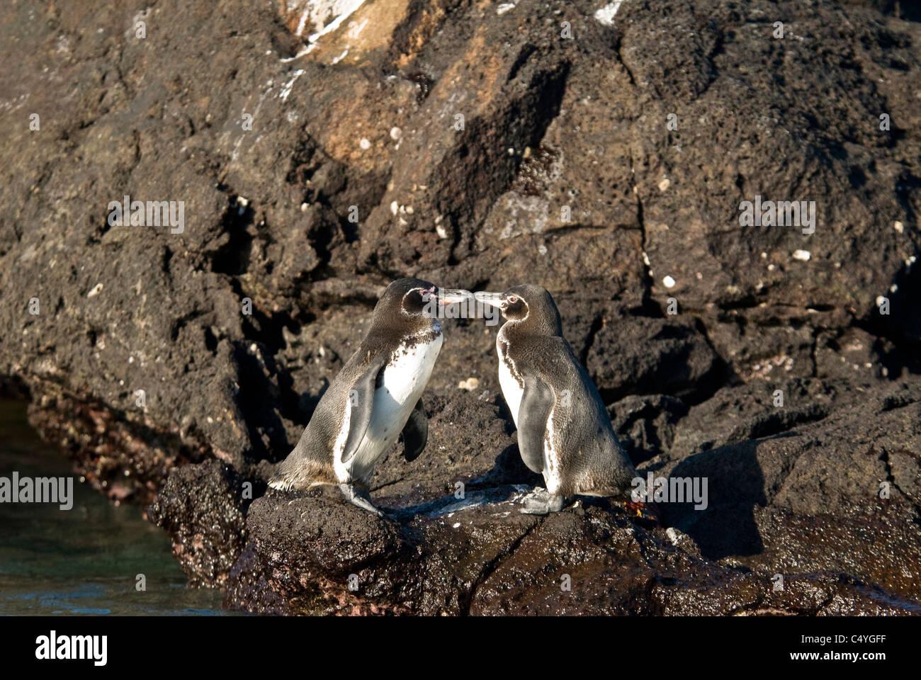 Endangered Galapagos penguins (Spheniscus mendiculus) on Bartolome Island in the Galapagos Islands Ecuador - Stock Image