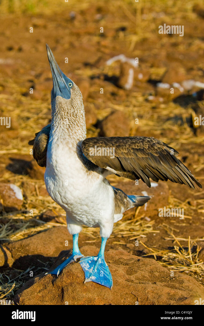 Blue-footed booby (Sula nebouxii) courtship behavior on Seymour Island in the Galapagos Islands Ecuador - Stock Image