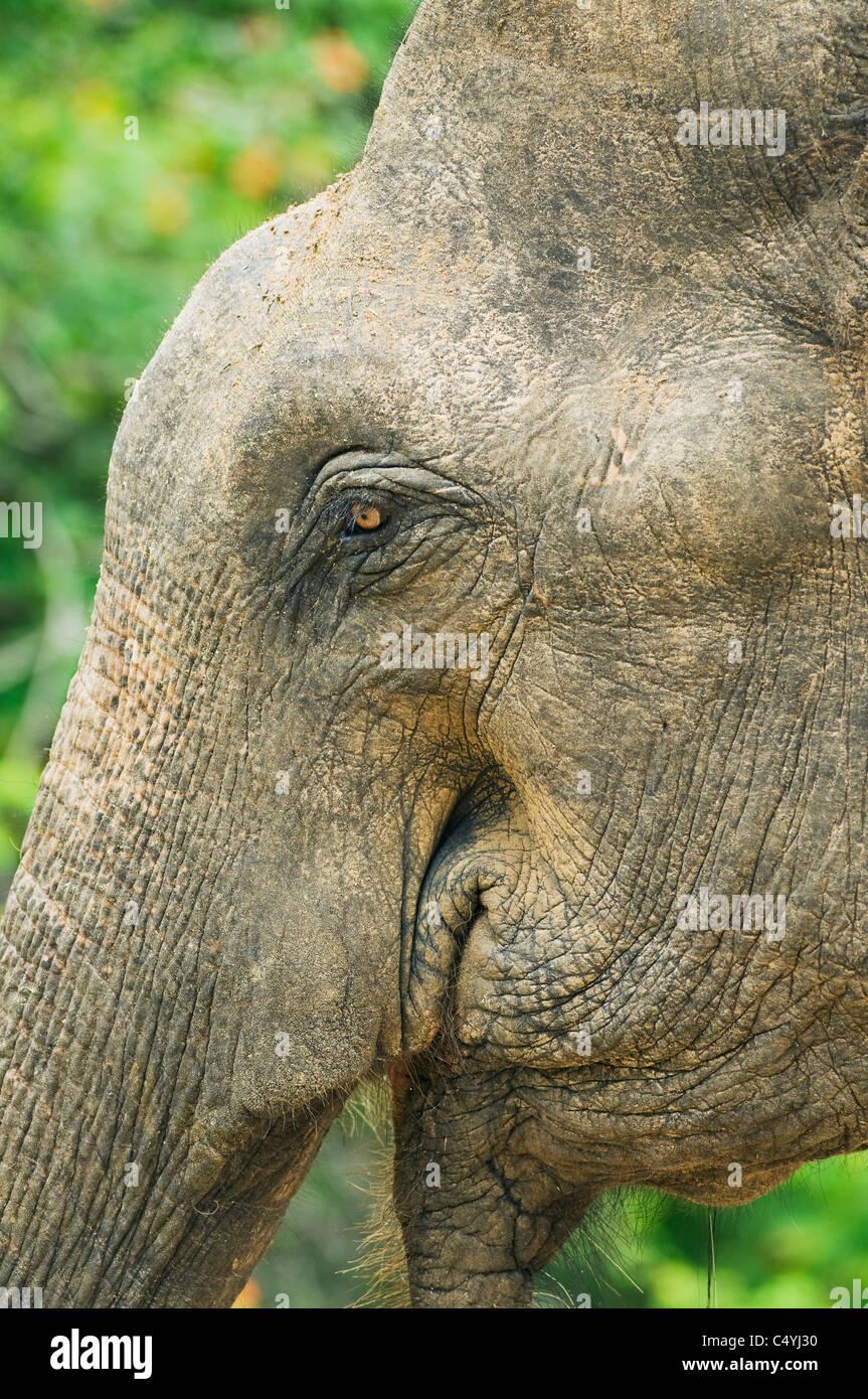 Asian or Asiatic Elephant (Elephas maximus) WILD, Close-up of Face, Yala National Park, Sri Lanka - Stock Image