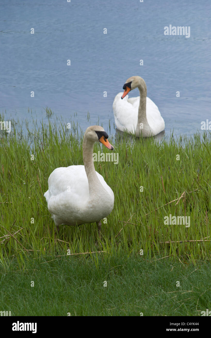Photographing swans creates curiosity in these water foul as they come in for a closer look. - Stock Image