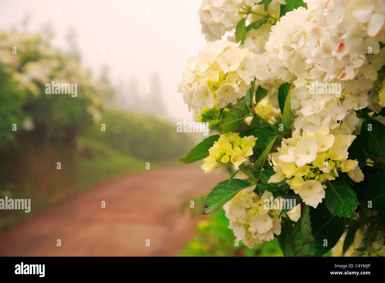 Dirt road surrounded by hydrangeas in a foggy day. Azores islands, Portugal - Stock Image