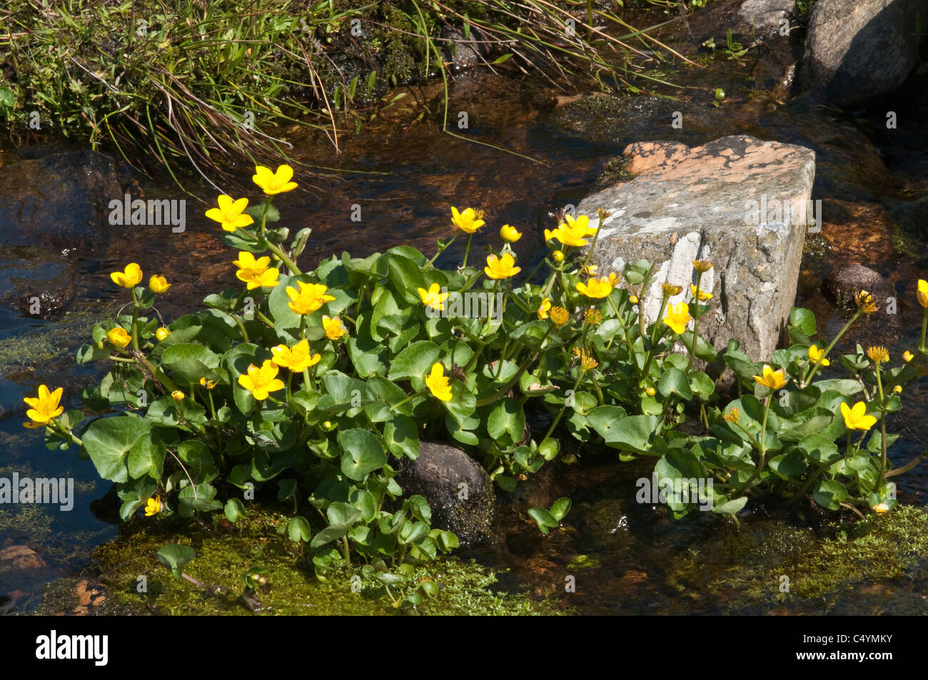 Kingcup = Marsh Marigold (Caltha palustris) flowers at the stream edge Unst Shetland Subarctic Archipelago Scotland - Stock Image