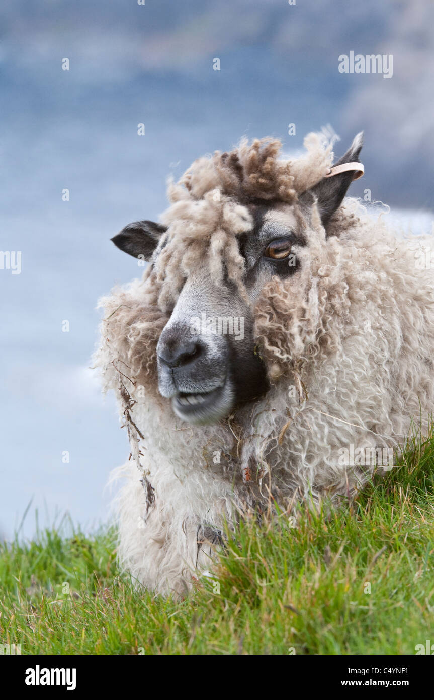 Domestic Sheep Shetland ewe close-up of head ruminating resting on the cliff-top  pasture Hermaness Unst Shetland - Stock Image