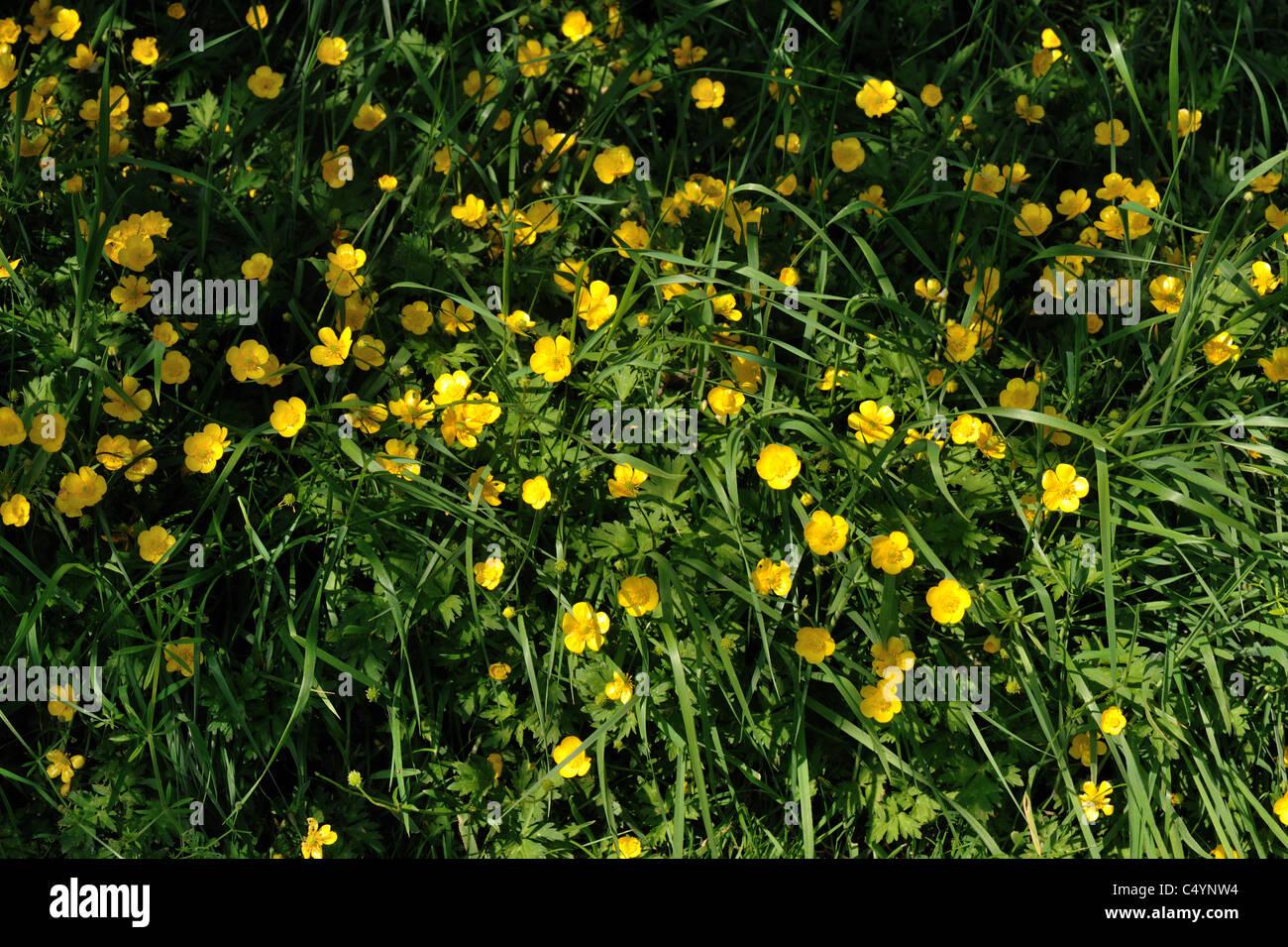 Creeping Buttercup Ranunculus Repens Flowering In Mature Pasture