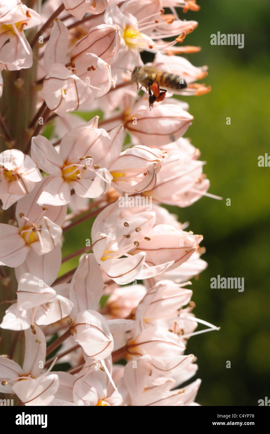 Foxtail lily or desert candle (Eremurus robustus) florets with a honey bee attending - Stock Image
