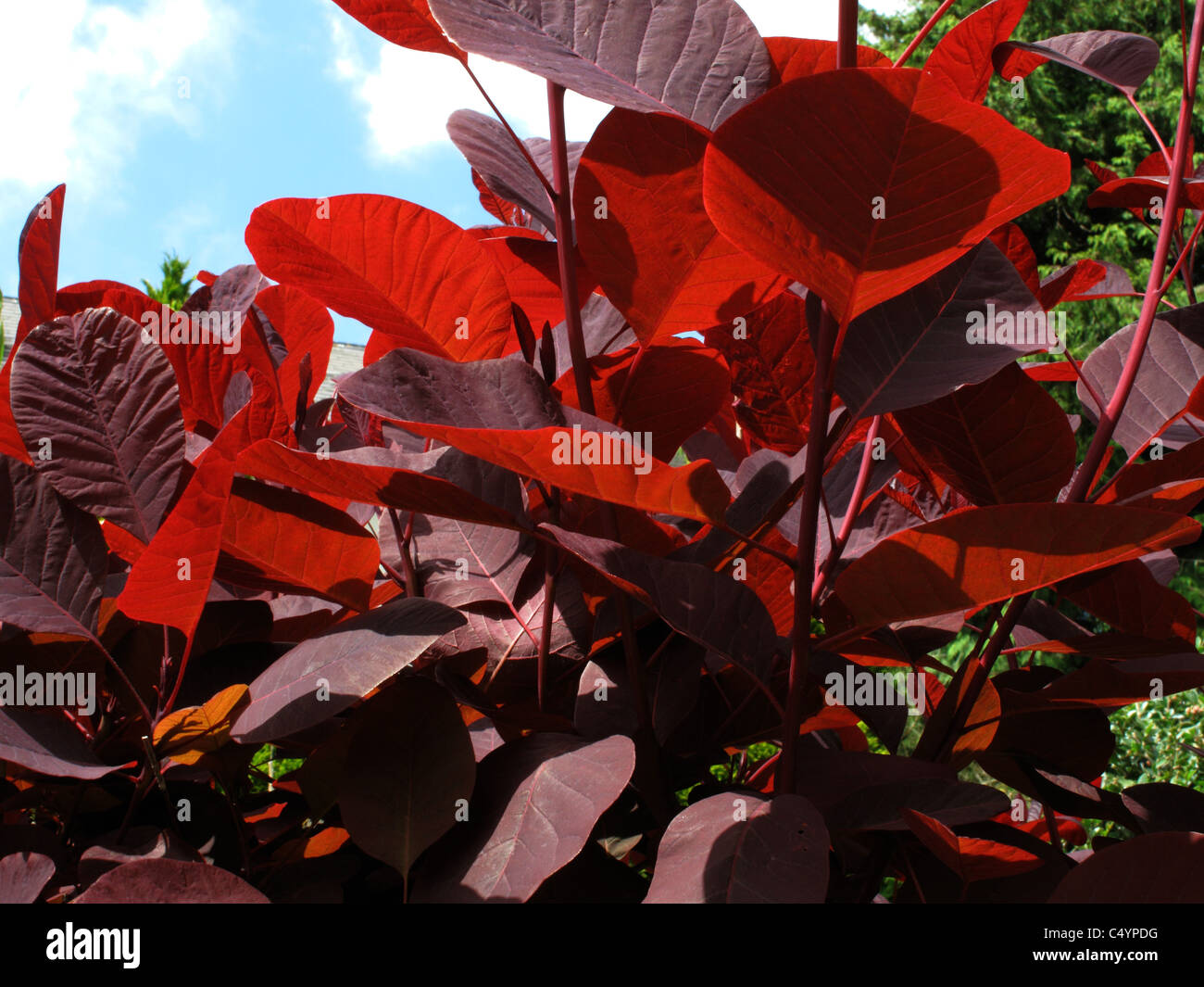 Light shining through the dark red leaves of a smoke tree (Cotinus coggygria) - Stock Image