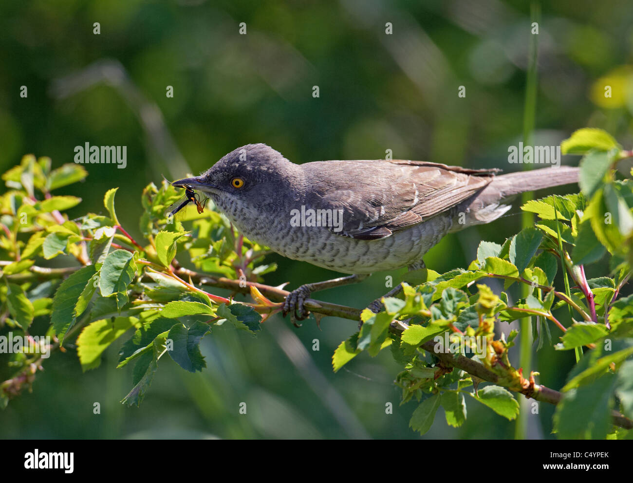 Barred warbler (Sylvia nisoria). Adult male perched on rose twig with an insect in its beak. - Stock Image