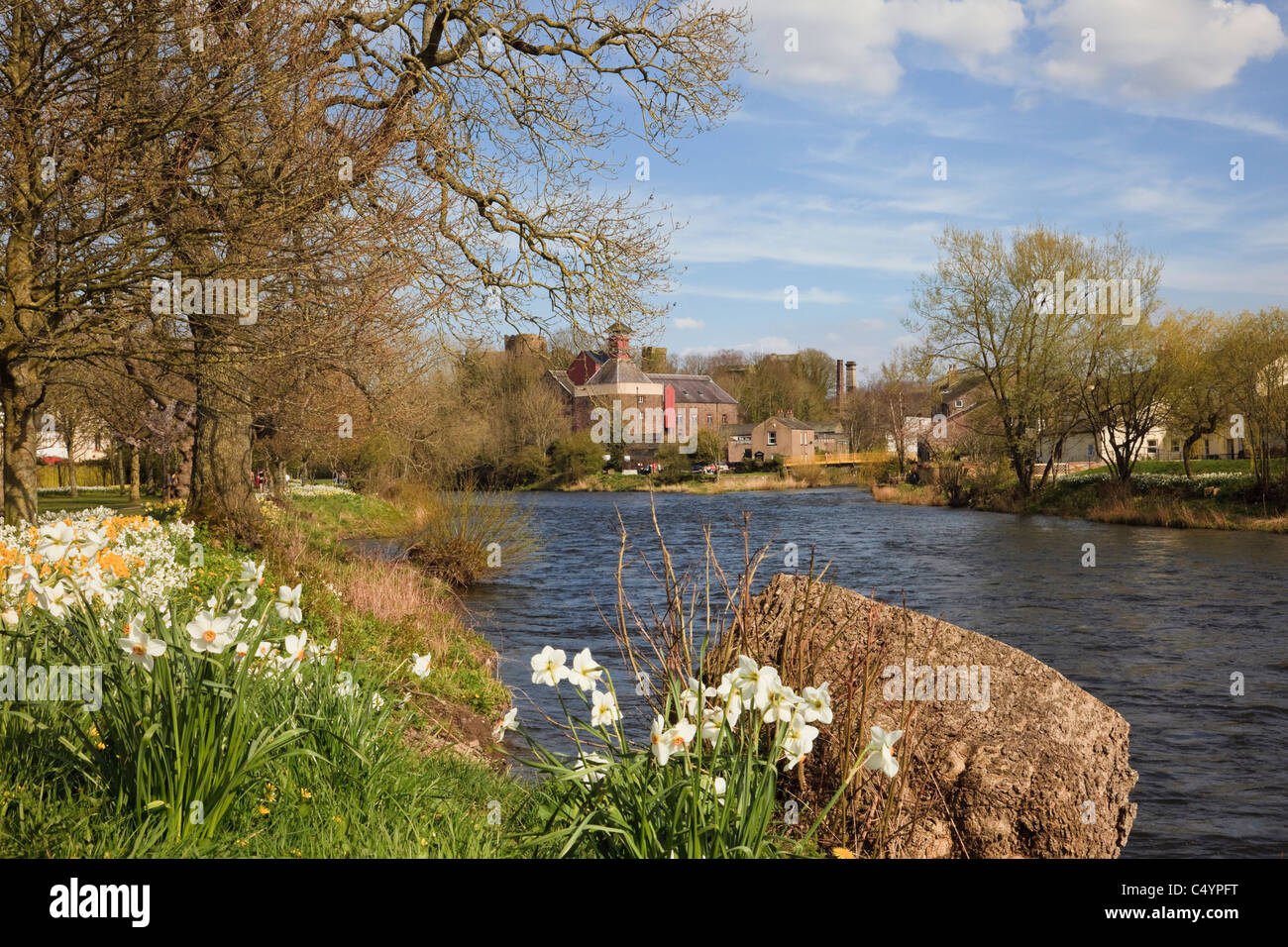 Spring Daffodils in the Memorial Gardens beside the River Derwent in Cockermouth, Allerdale, Cumbria, England, UK, - Stock Image