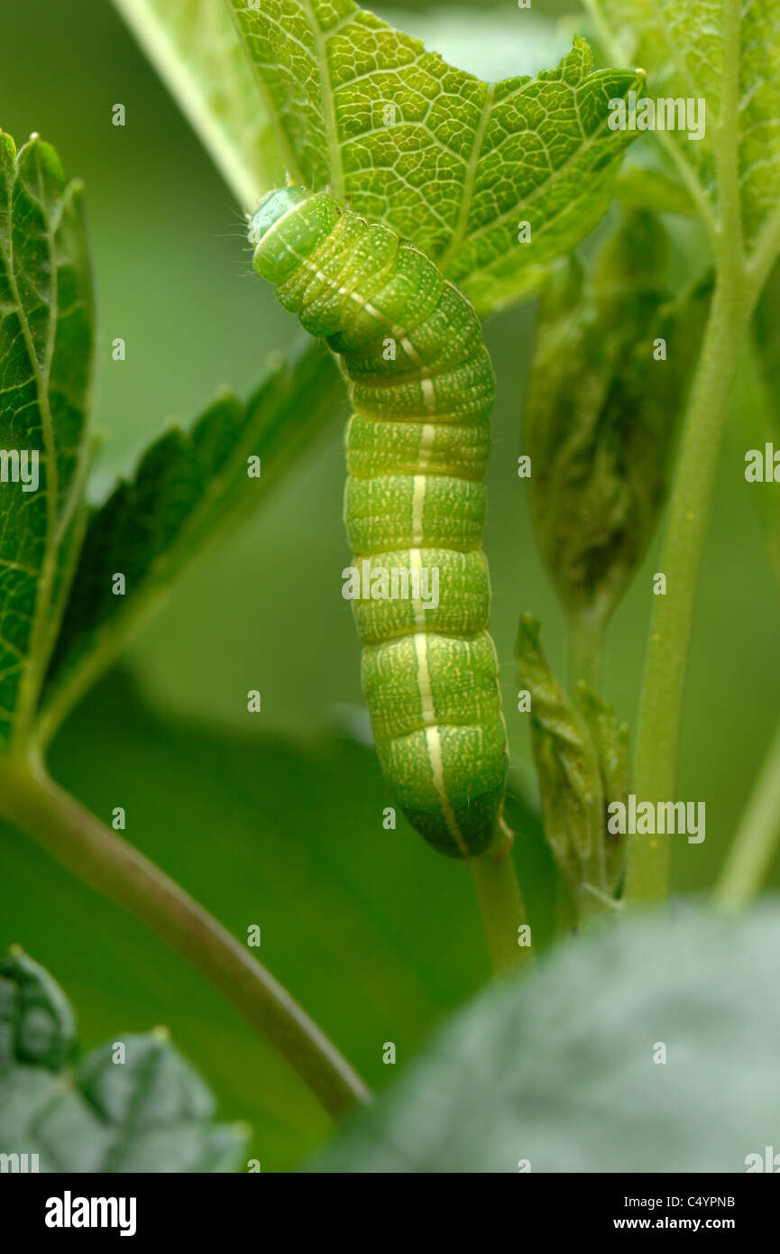 Clouded drab moth (Orthosia incerta) caterpillar on blackcurrant foliage - Stock Image