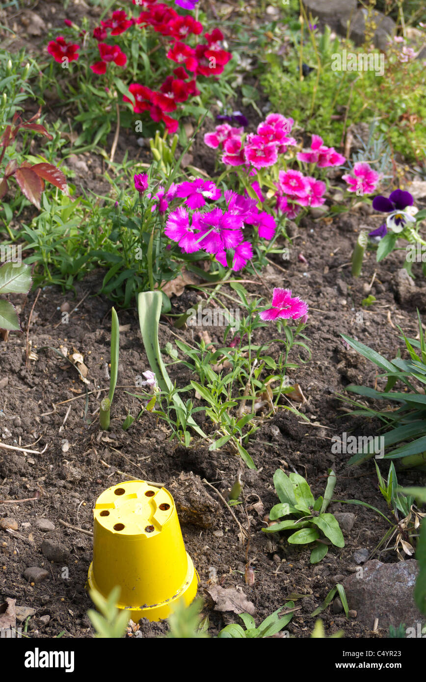 sweet Williams admire the yellow flower  pot place in there flower bed - Stock Image