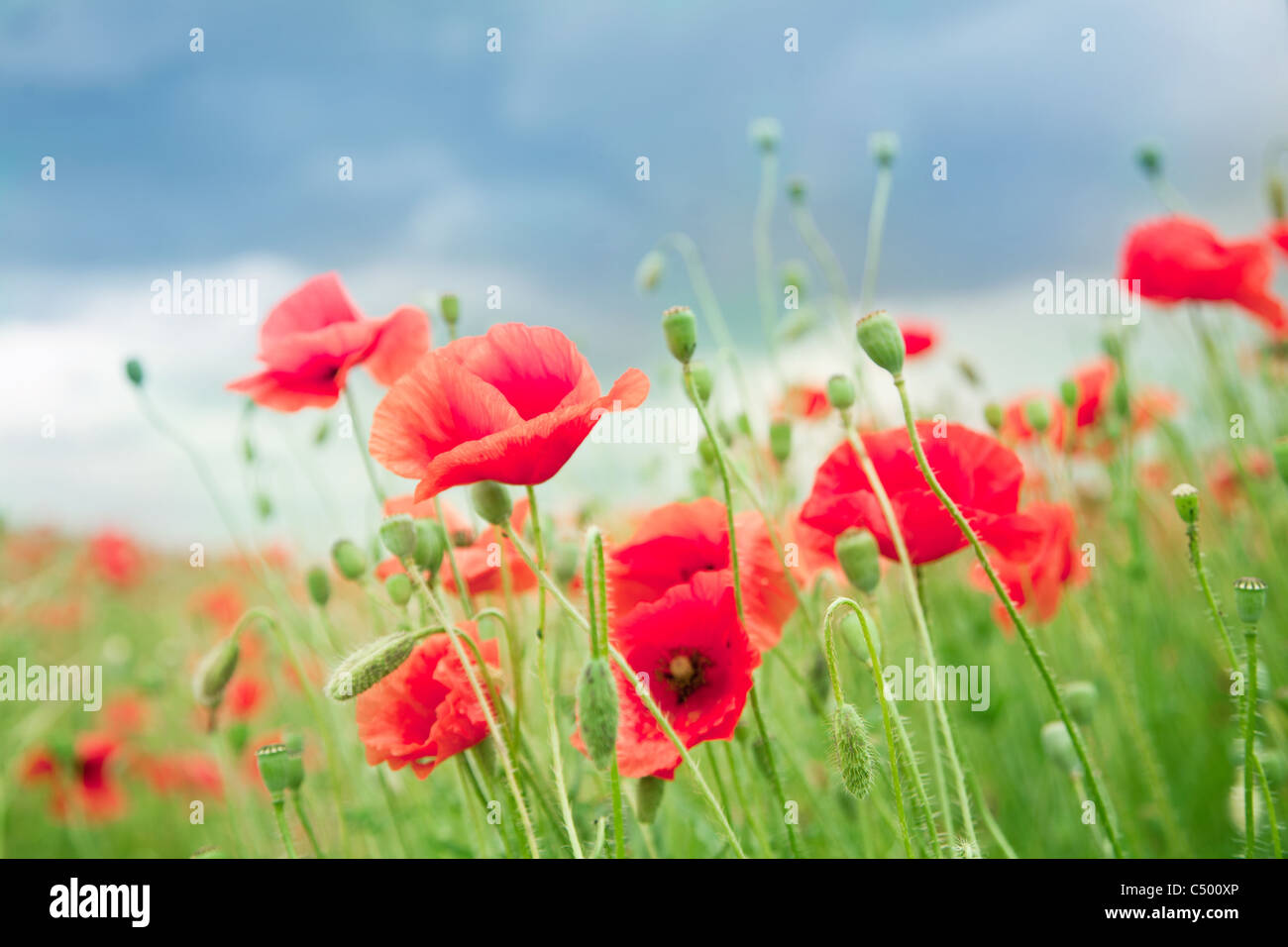 Wild poppy flowers on blue sky background. - Stock Image