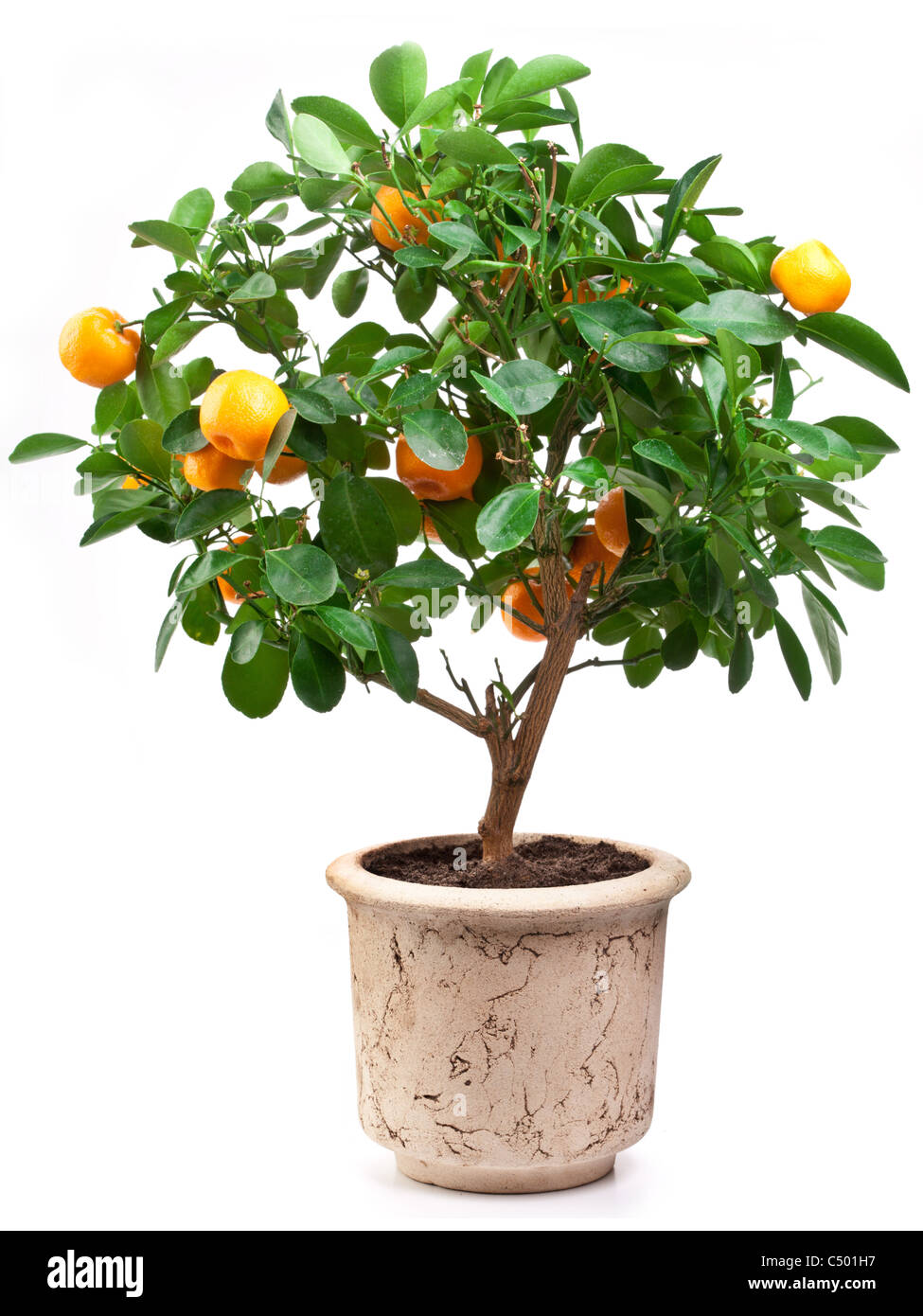 Small tangerines tree on white background. - Stock Image