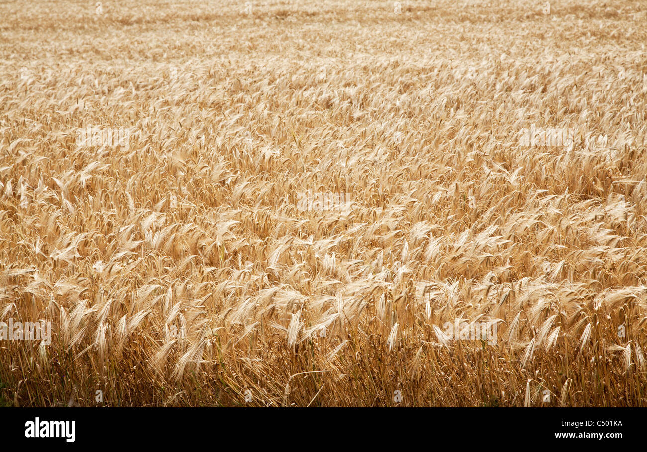 Close up shot of wheat stalk on a blue sky background. - Stock Image