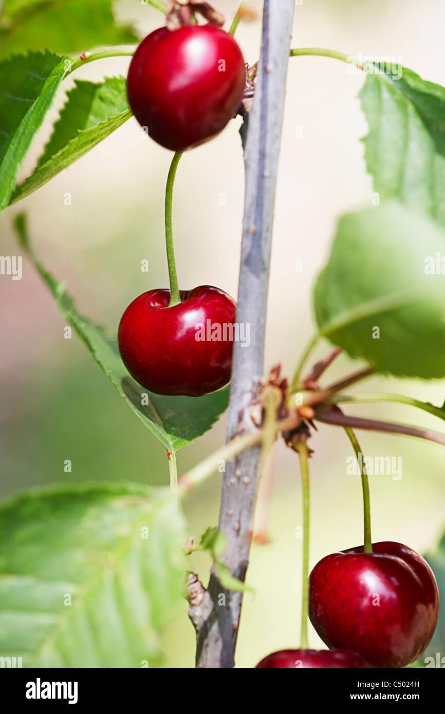 Cherries on a tree Stock Photo