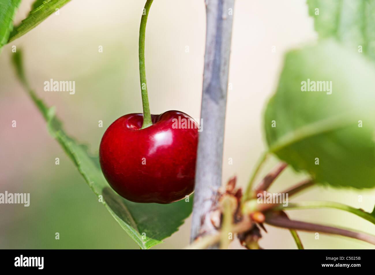 Cherry on a tree Stock Photo
