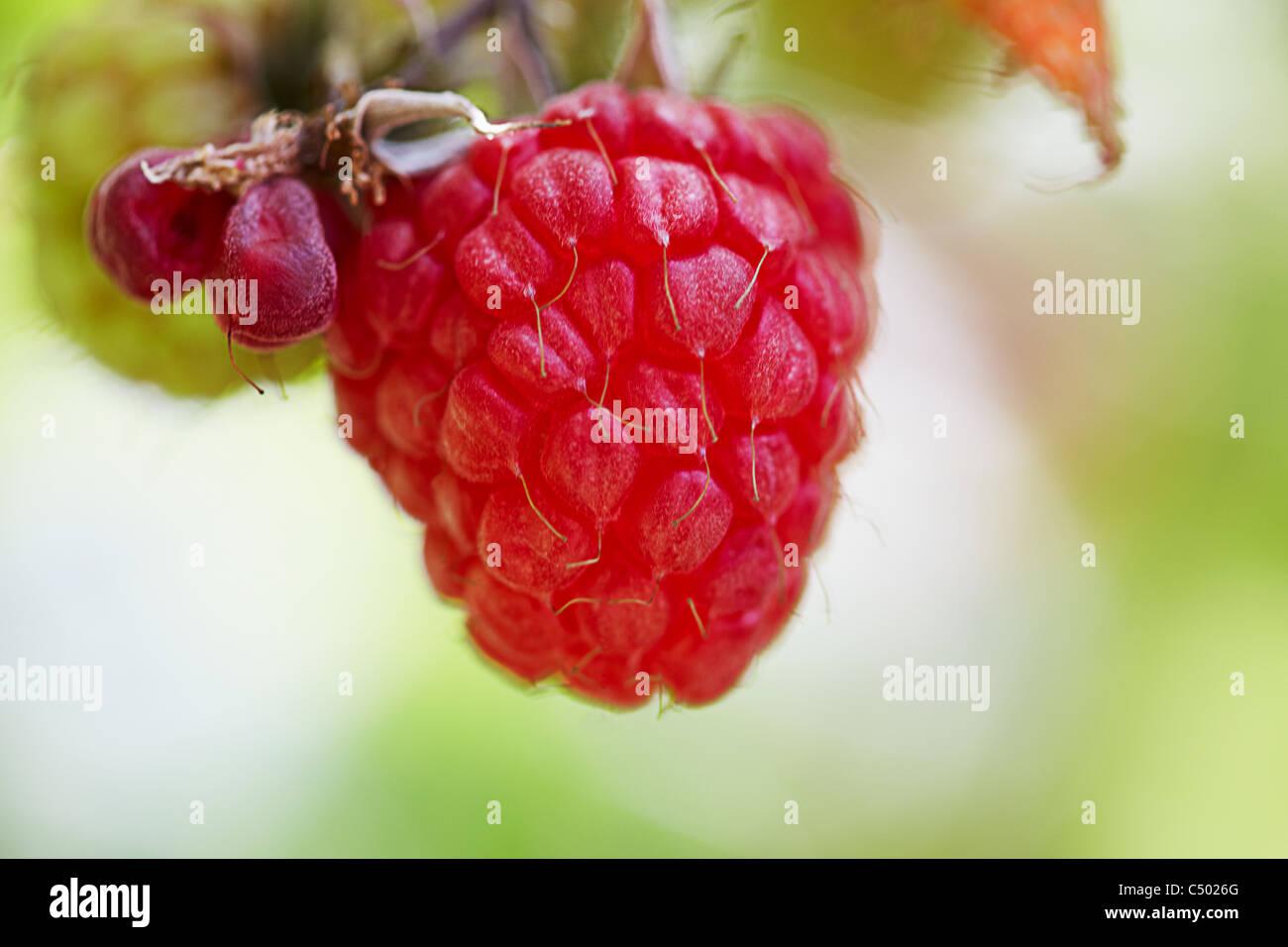 red ripe raspberries Stock Photo