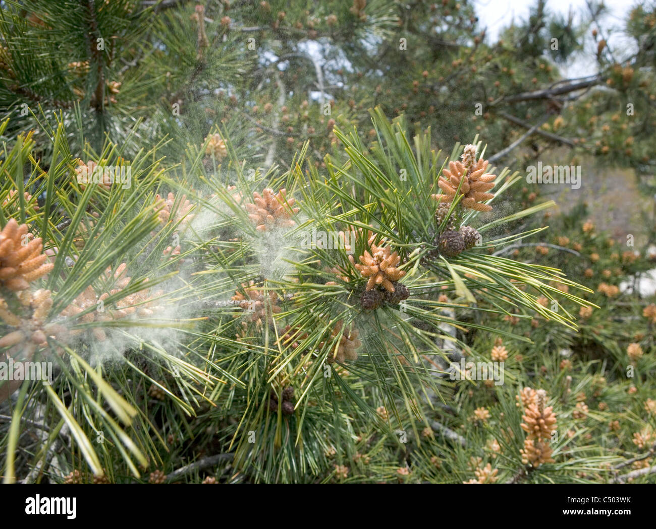 pollen falling from a pine tree in the wind - Stock Image