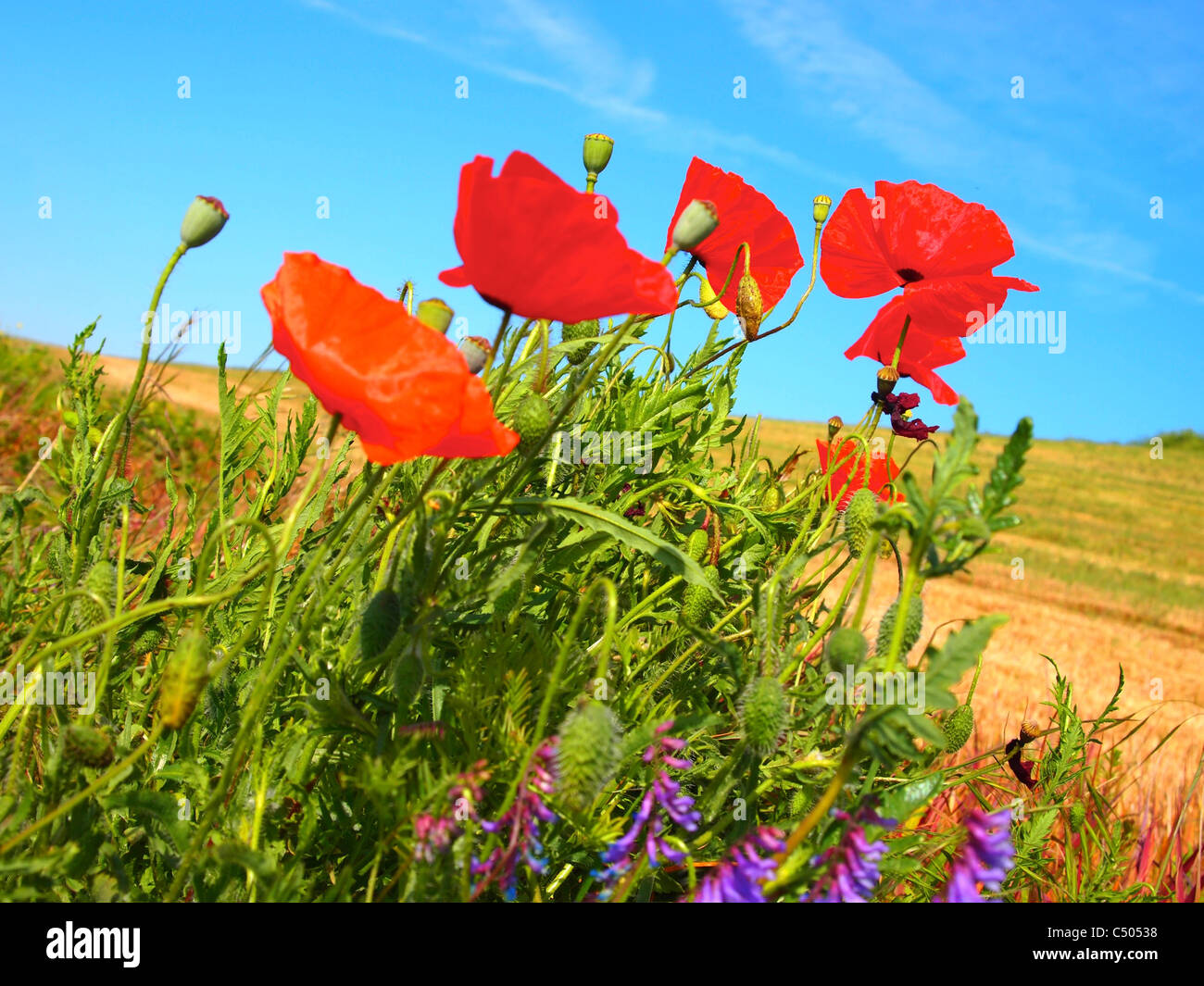 Field of poppies, france - Stock Image