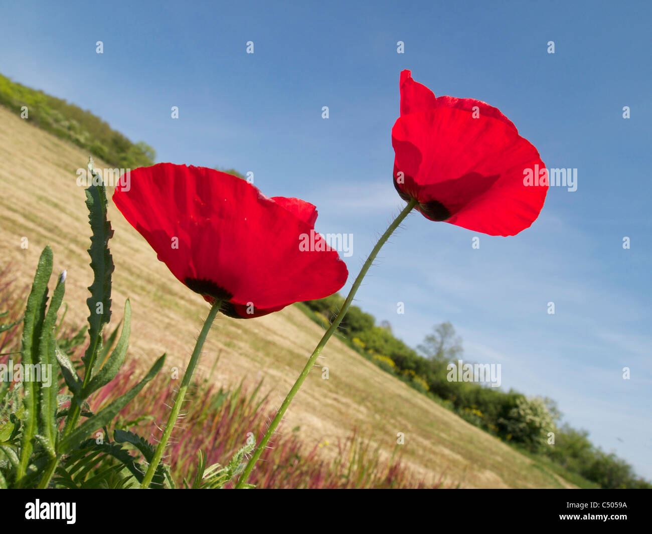 Bright red Poppy flowers in a field in France against a blue sky - Stock Image